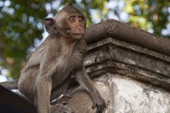 Young monkey getting ready to leap from wall at Wat Sampeou stock photo