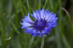 Purple blanket-flower bloom in mae fah luang garden royalty free stock images