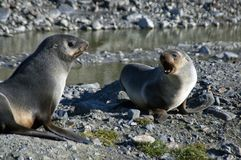 Antarctic fur seal pups in morning sun stock images