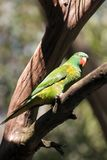 Scaly-breasted lorikeet perched on tree branch