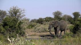 Elephants drinks from a waterhole stock video footage