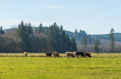 Scene of beef cattle in the green field in farm area,usa. Royalty Free Stock Photo