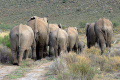 Scene from behind a herd of elephants Royalty Free Stock Photography