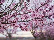 Scene with blossoming plum branches at sunrise stock photo