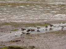 Scene of canadian geese standing stationary in a line in a small. Stream of estuary; Essex; England; UK Stock Images