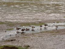 Scene of canadian geese standing stationary in a line in a small. Stream of estuary; Essex; England; UK Stock Photos