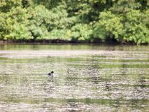 Scene with coot on the surface of the water swimming behind look stock photo
