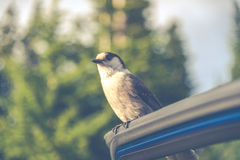 Scene of a cute Eastern Phoebe resting on the car's door in the sunny day.. Stock Photos