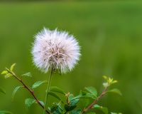 Scene with dandelion and water drops at sunrise royalty free stock photography