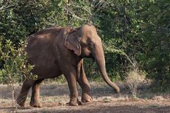 Asiatic elephant emerging from forest stock images