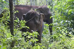 Asiatic elephants in forest Royalty Free Stock Photo