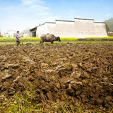 Scene di agricoltura tradizionale del bestiame Fotografia Stock Libera da Diritti