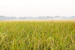 Scene di tenuta del colore dorato con riso verde nel campo della r immagine stock