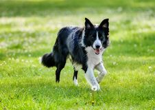 Border Collie dog walking through the park on a spring day royalty free stock image