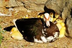 Scene duck chicks. In their natural habitat Stock Photos
