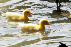 Scene duck chicks. In their natural habitat Royalty Free Stock Photos