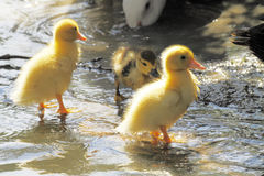 Scene duck chicks. In their natural habitat Stock Photography
