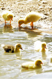 Scene duck chicks. In their natural habitat Royalty Free Stock Photography