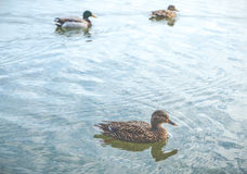 Scene of ducks rest in the lake in the park. Royalty Free Stock Photo