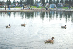 Scene of ducks rest in the lake in the park. Royalty Free Stock Photography