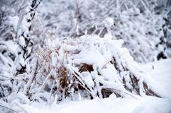 Scene field plants covered in snow with natural light. Dry field plants covered with snow stock photos
