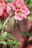 Scene of a flowering quince stock photos