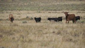 Scene of Free Range Cattle in the Desert. View of a free range cattle in the desert stock video