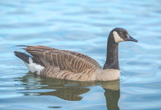 Scene of geese rest in the lake in the park. Stock Image