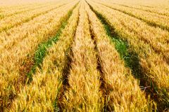 The scene of a good harvest. The painting represents the scene of a good harvest Royalty Free Stock Photography