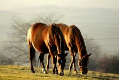 Scene of grazing horses at sunset. Horses eating grass at sunset. Horses are grazed on a meadow, fields and meadows in the background Stock Photography