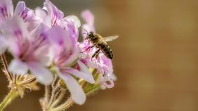 Scene with the honey bee in flight approaching from a flower to collect the pollen royalty free stock photography