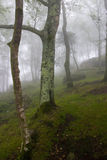 Scene of the interior of a forest under the fog. Scene of the interior of a mountain forest in a cloudy day Royalty Free Stock Photo