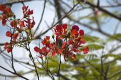 Red flowers of a delonix regia tree royalty free stock photo