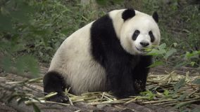 Large Panda sits eating bamboo. Scene of a large Panda sitting eating bamboo stock footage