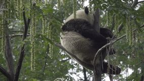 Large Panda squeezed in a tree sleeping. Scene of a Large Panda squeezed in a tree top sleeping stock footage