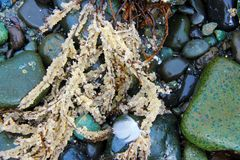Herring Roe clinging to sea grass, washed up on the rocky shore. Scene near Qualicum Bay, BC during the annual herring run, when competition is fierce between royalty free stock photography