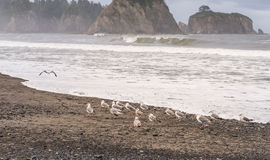 Free Scene Of Seagull On The Beach With Rock Stack Island On The Background In The Morning In Realto Beach,Washington,USA.. Stock Image - 65716561