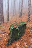 Old stump in misty forest Stock Photo