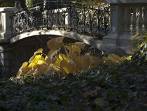 Large yellow shrub leaves in the rays of the sun. Scene in the park with big yellow leaves and a small stone-iron bridge stock photo