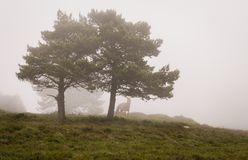 Scene of pines trees in fog, with a horse stock image