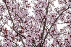 Plum tree in full bloom in spring stock photo