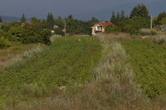 Scene with potato plant field, forest and residential district of bulgarian village Plana Royalty Free Stock Photo