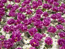 Purple Tulips and White Daisies stock images
