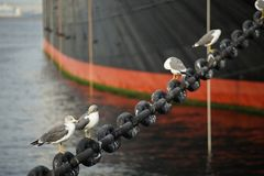 Spectacle of sea bird at the harbor. A scene of a sea bird resting with a ship at the harbor Stock Photography