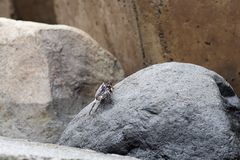 Scene of a sea crab on a stone. This photo is taken on Madeira, Portugal stock photo