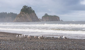 Scene of seagull on the beach with rock stack island on the background in the morning in Realto beach,Washington,USA.. Stock Image