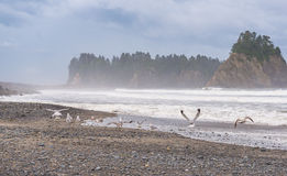 Scene of seagull on the beach with rock stack island on the background in the morning in Realto beach,Washington,USA.. Stock Photography