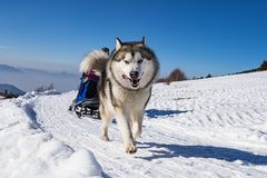 Sled dog scne Royalty Free Stock Images
