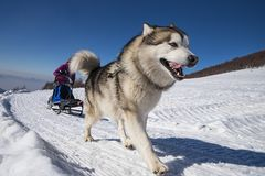 Sled dog scne. A scene from a sled dog meeting in the italian alps Royalty Free Stock Photos