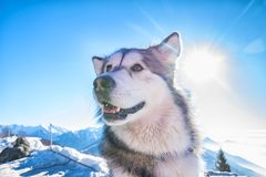 Sled dog scene. A scene from a sled dog meeting in the italian alps Royalty Free Stock Photography